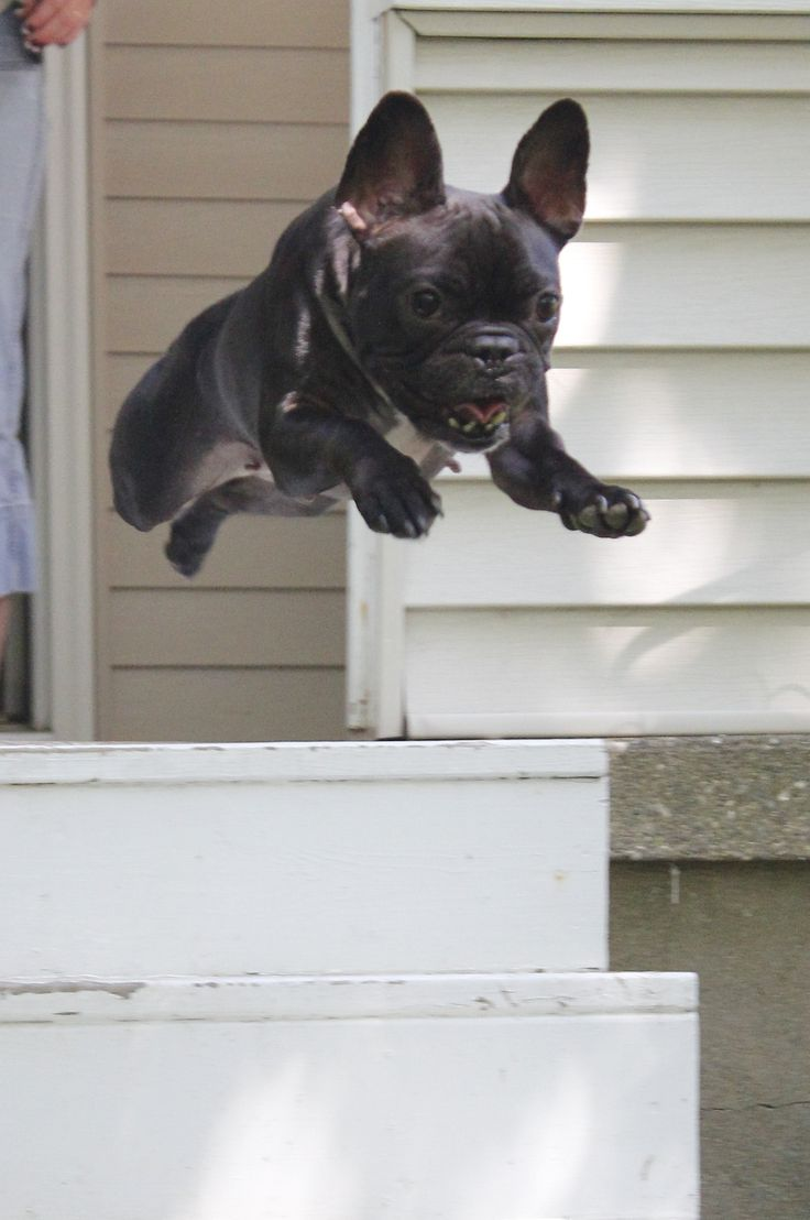 Fiona The Flying Frenchie!
