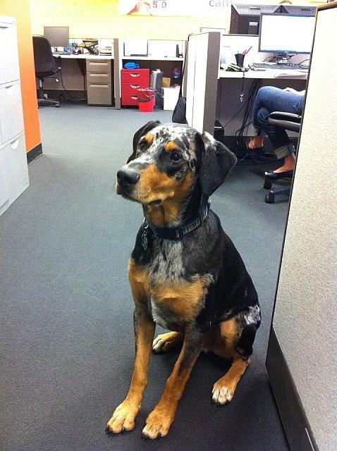 Otis, the Australian Sheep Dog mix, sits hopefully waiting for a treat from his administrator mom, Natalia.