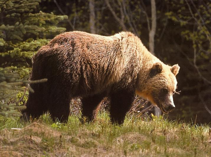 Beware of the grizzly bears in Yellowstone this year. | Natural ...