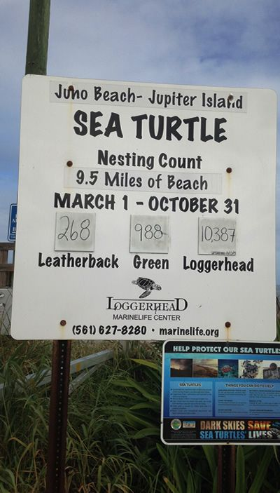 Sea Turtles are gorgeous sea faring creatures that enjoy the friendly area of Juno Beach to nest and enjoy the beach. Juno Beach is home to many of these wonderful creatures and their nests. #junobeach