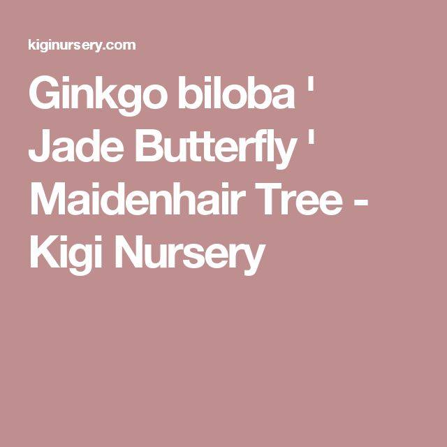 Ginkgo biloba ' Jade Butterfly ' Maidenhair Tree - Kigi Nursery