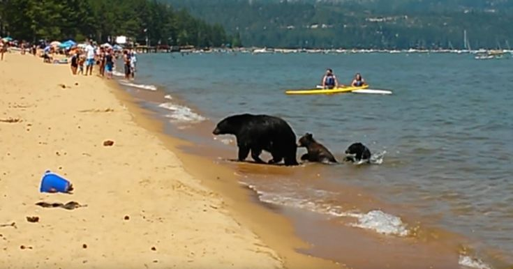 Mama Bear Takes Her 2 Cubs For A Swim In California In The Middle Of The Day | Bored Panda