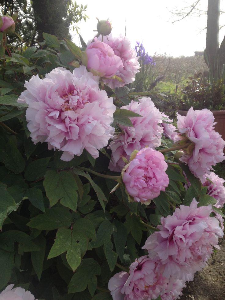 Direttamente dal mio giardino 🌸🌸🌼🌼 #Lizziemargherita #peonie #peonies #primavera #giardino #instantpic #caldo #happiness #delicato #igertoscana