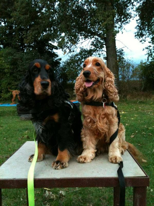 Black Tan and Golden English Cocker Spaniels