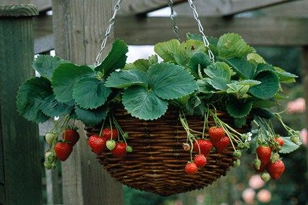 Can also grow these as use them as bird feeder.....!! Strawberry hanging basket | gardenersworld.com
