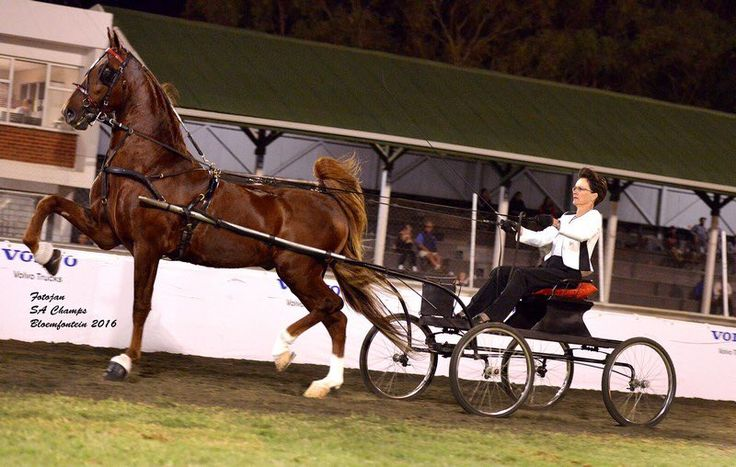 "Saddle Horses SA on Twitter: ""2016 SA Grand Champion Amateur Single Harness – Way Up Don Eldorado– shown by Tersia Malan for owner C J Barrie. https://t.co/XpeJglZODG"""