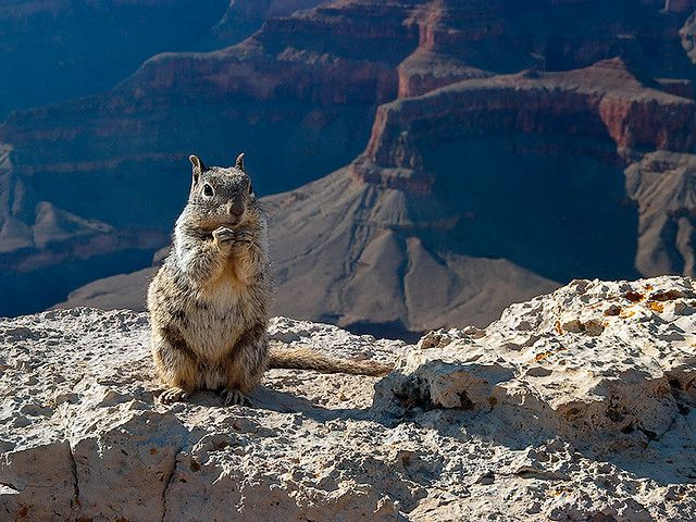 Grand Canyon Ground Squirrel Pictures 51