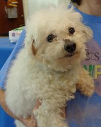 Benny is an adoptable Bichon Frise Dog in Gainesville, TX. The adoption fee is $85, and includes the dog's spay or neuter, vaccines (distemper/parvo, kennel cough, rabies), deworming and flea treatmen...