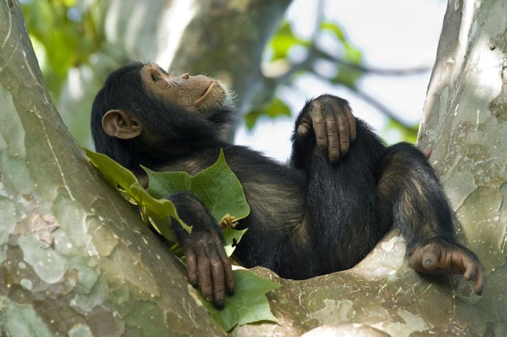 Chimpanzee, Volcanoes National Park, Rwanda