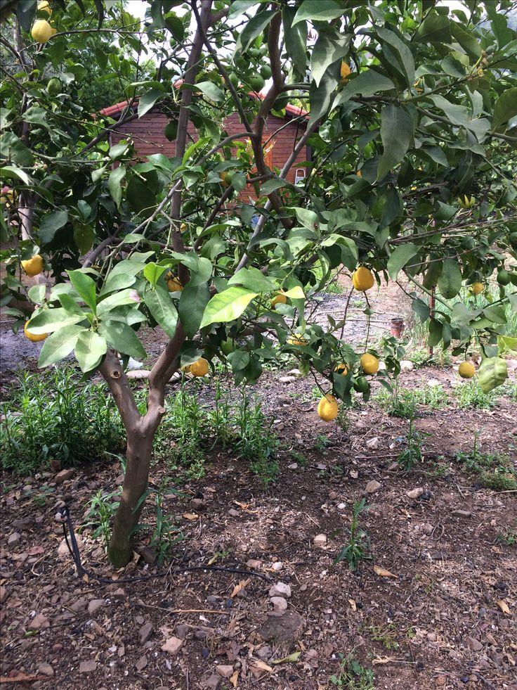Çıralı-Lemon Garden