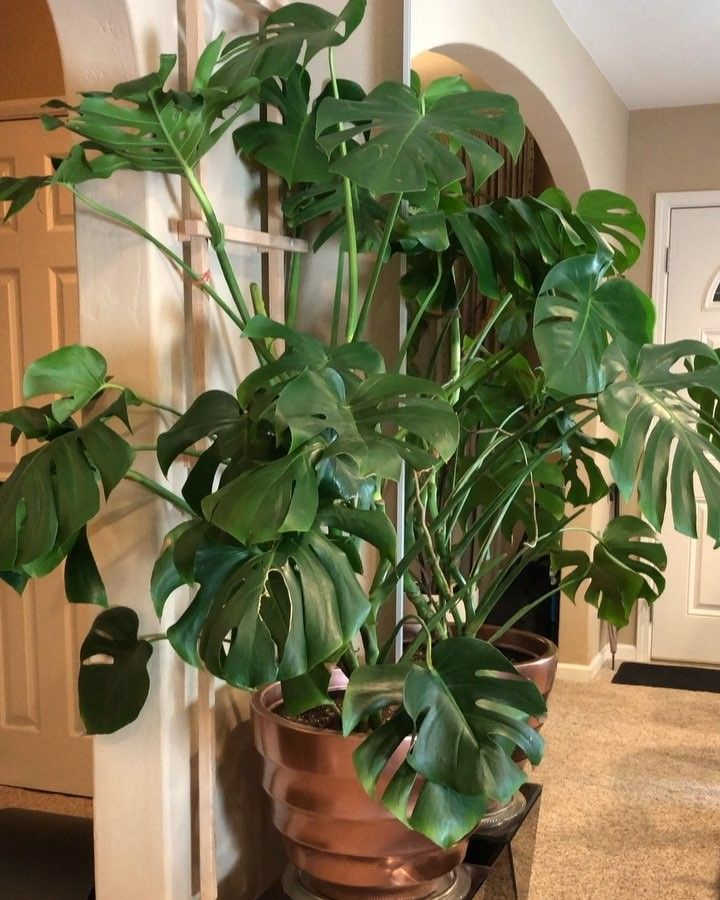 The Indoor Trellis Is Working Like A Champ I Think Our Monstera Will Be Happy Growing On It Over Time Looki Indoor Trellis Trellis Plants House Plants Indoor