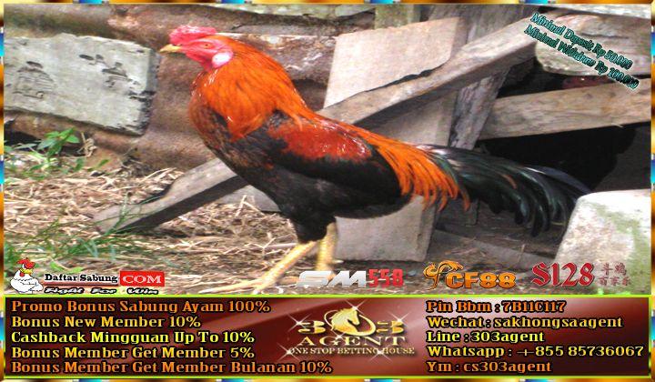 Tips Cara Melatih Ayam Kampung Menjadi Ayam Aduan Lengkap