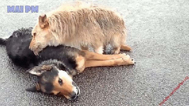 kuttyák kuta kutya halál hűség