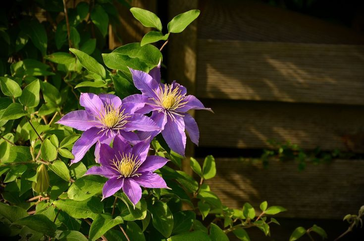 When to Prune Your Clematis Plants