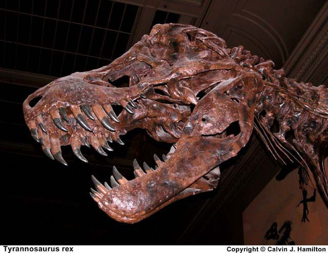 This is the skull of the most complete Tyrannosaurus rex ever found. The Black Hills Institute of Geological Research in Hill City, South Dakota excavated it. This picture was taken on Nov. 10, 2003 at the Smithsonian National Museum of Natural History.<br />