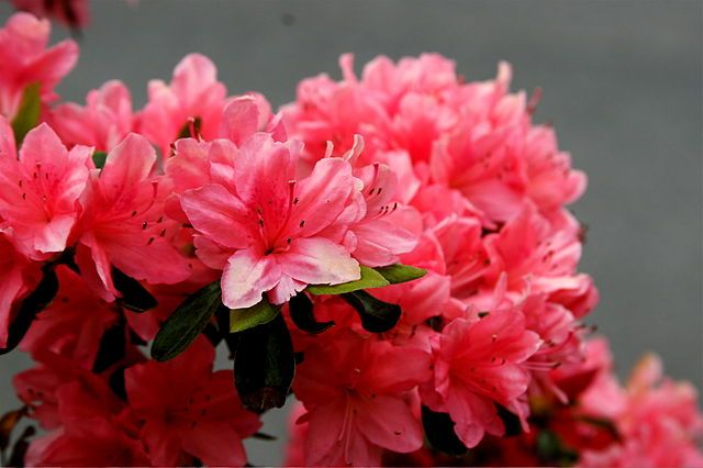 Beautiful pink azaleas and a great post on words that are similar in English and Spanish. Read more.
