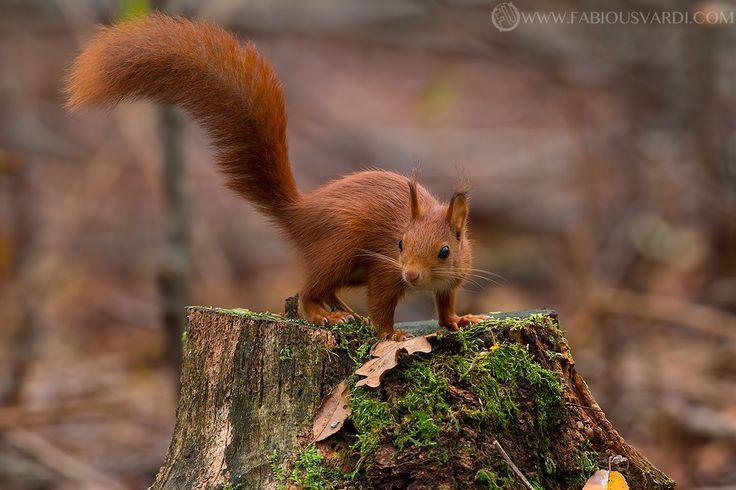 Red squirrel (sciurus vulgaris) by Fabio Usvardi on 500px www.italianwildlife.it #italianwildlife #italian wildlife