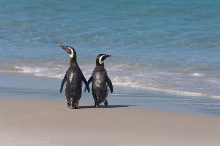 I pinguini di Magellano, una specie a rischio di estinzione