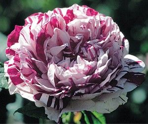 Variegata Di Bologna roses