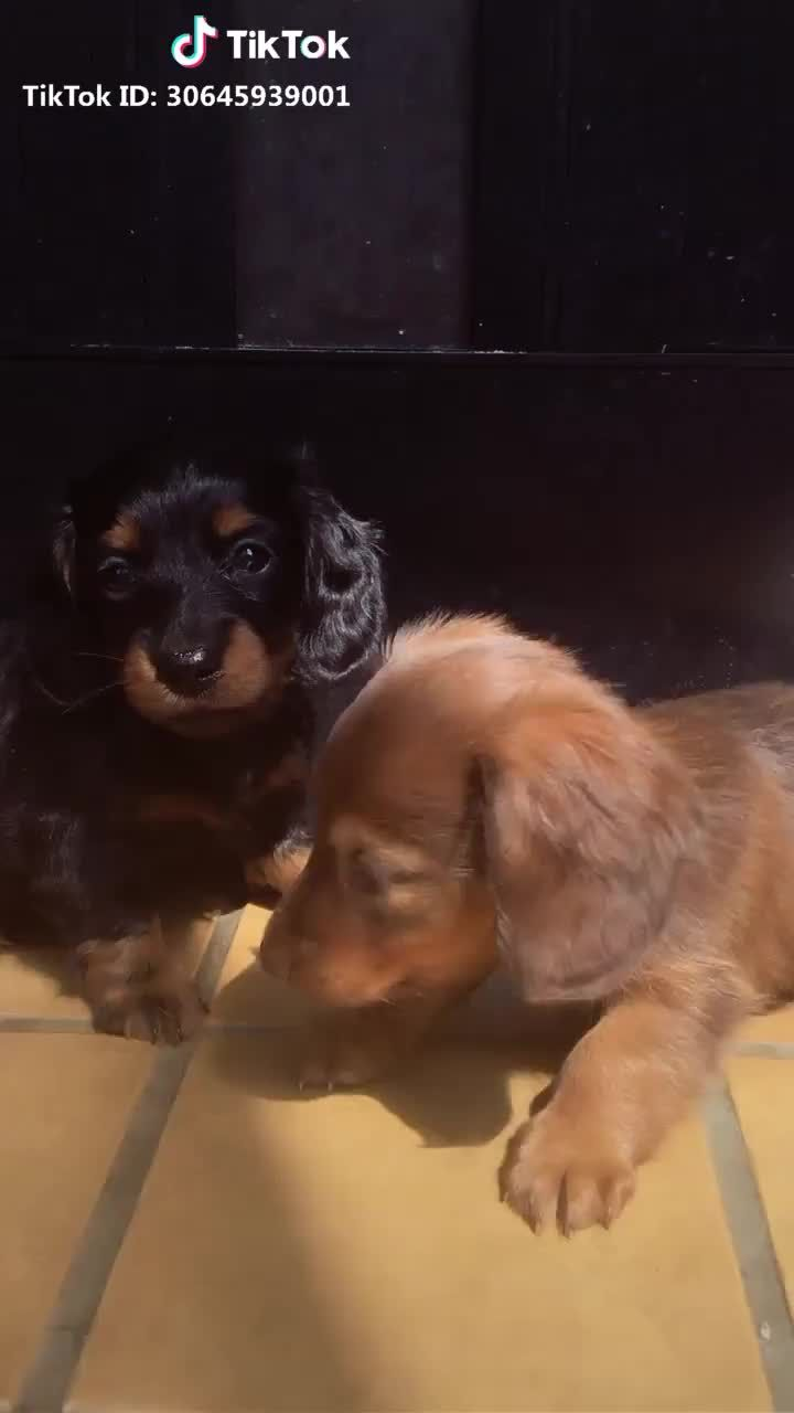 Funny Dachshund Video Funny Dog Video Funny Sausage Dog Video