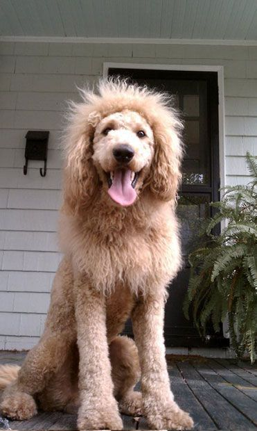 """Police officers in Norfolk, Virginia, responded to reports that a lion was on the loose. They urgently contacted the local zoo to see if any of their lions had escaped. But it turned out that the animal which terrified residents was actually a labradoodle named Charles, which had been shaved to look like a lion."" Charles the Monarch is famous on Pinterest too! Haha :)"