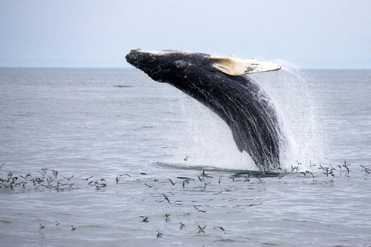 Grand Manan NB | Humpback Whale Breaching by Whales-N-Sails
