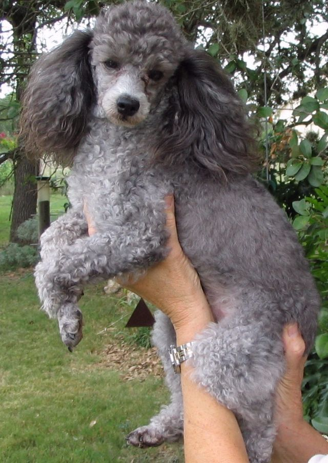 Grey Toy Poodle Dog Poodle Toy Silver Grey Muzzle Name Wilbur