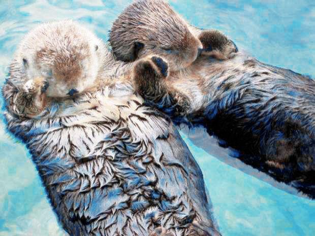 Su samurları el ele tutuşarak uyurlar ♥