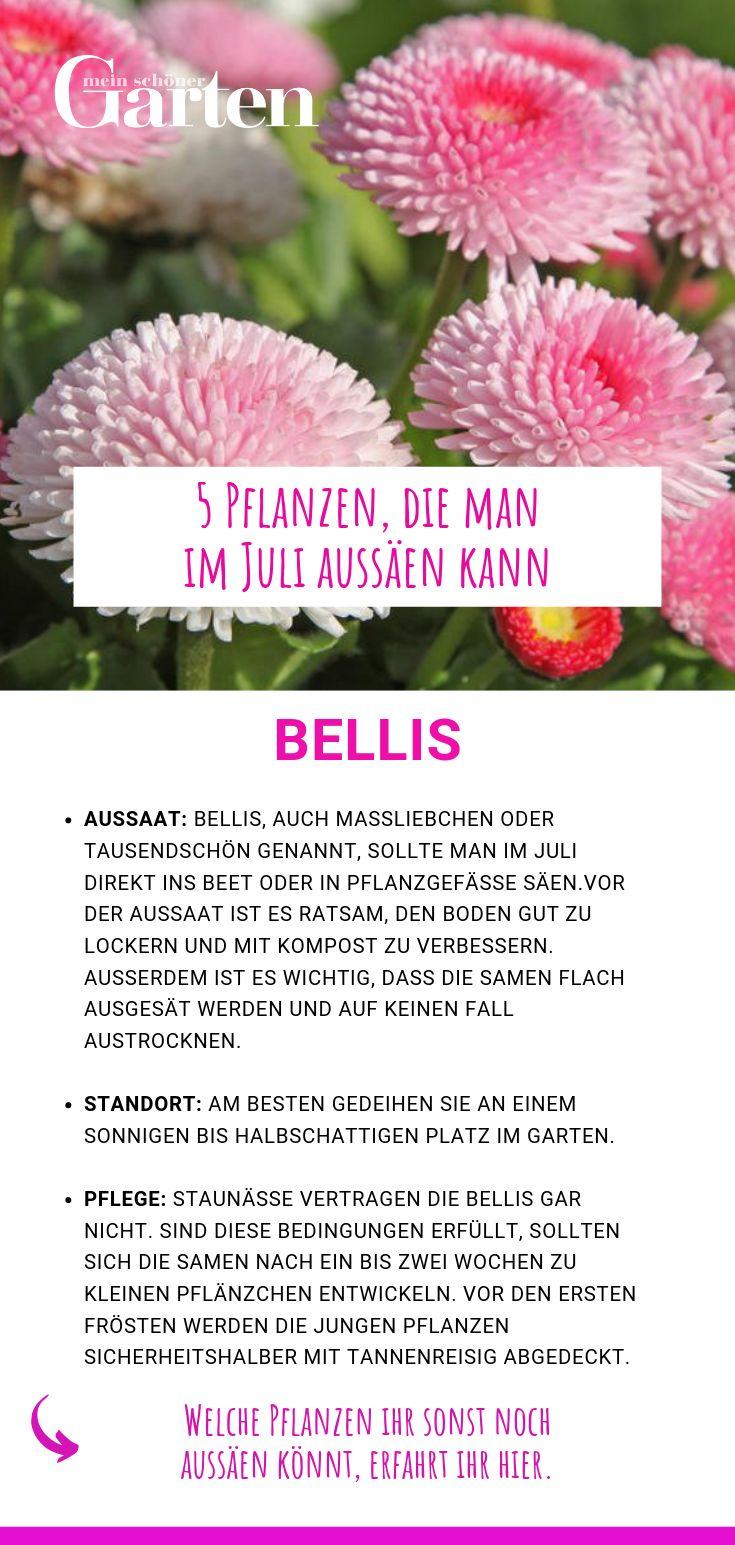 5 Pflanzen, die man im Juli aussäen kann: Bellis
