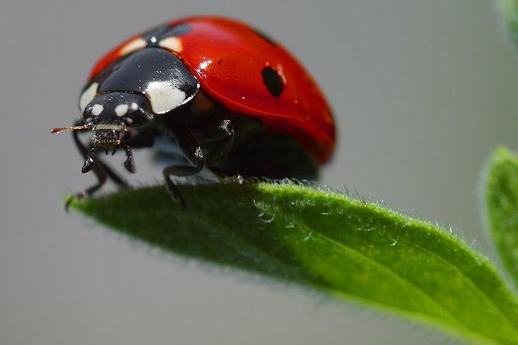Ladybird-FACTS About Ladybird Beetles