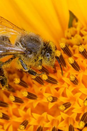 Worker bee in Sunflower, collecting pollen. Mixed with honey into 'bee bread' to feed baby bees.    bees © Éric Tourneret