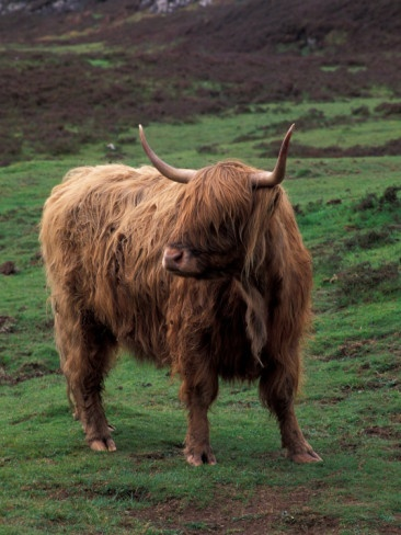 "Scottish Highland ""coow""  #travel  #Scotland"