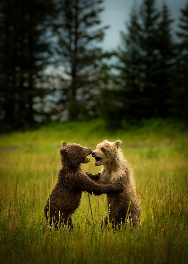 """Dancing Bear Cubs.""                                      (Title Given By The Photographer: Batu Berkok on 500px.)"