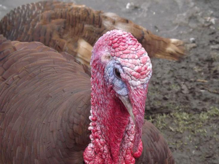 Turkey in Graves Park, Sheffield.