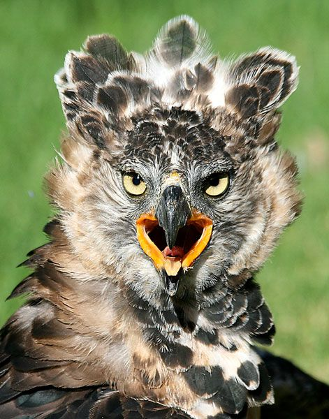 African Crowned Eagle... the Leopard of the Sky