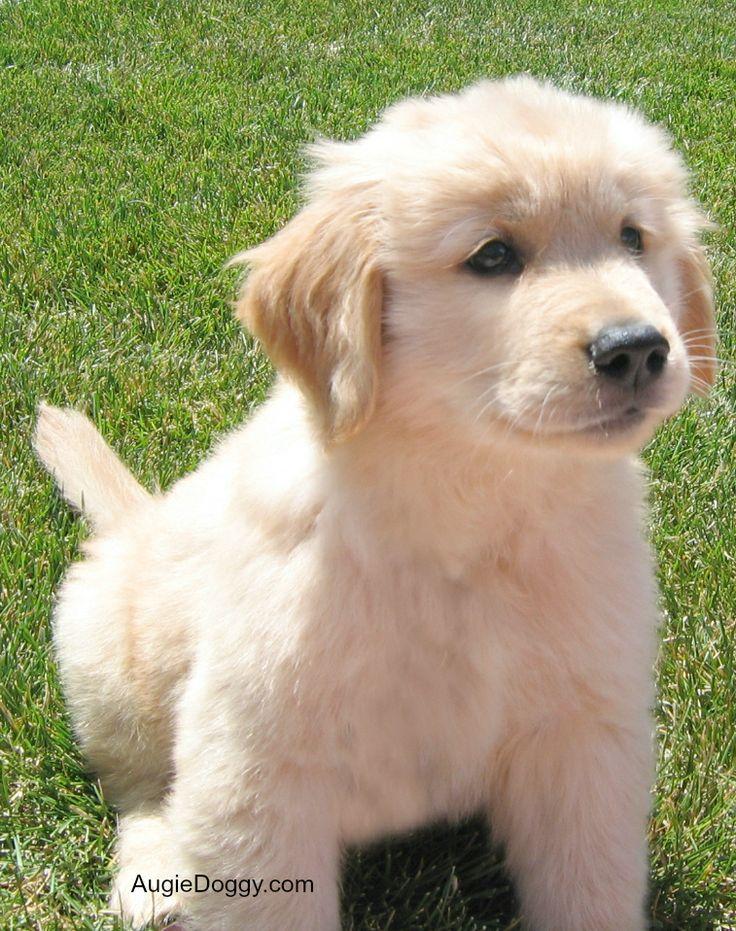 1000 images about golden retriever puppies on pinterest. Black Bedroom Furniture Sets. Home Design Ideas