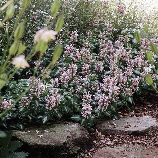 Lamium  Starting in mid-spring, Lamium produces clusters of pink or white flowers. This delightful groundcover can rebloom off and on through the summer, creating months of color. And even when its not blooming, the silver-infused foliage brightens up shady corners. Lamium usually stays about 8 inches tall and grows best in Zones 4-8.                                          Tip: Keep lamium looking good by keeping it moist. If it dries out too much, the leaves will develop brown edgesGardens Ideas, Pink Flower, White Flowers, Zone 4 8, Inch Tall, Shades Plants, Shades Perennials, Shades Gardens, Shady Corner