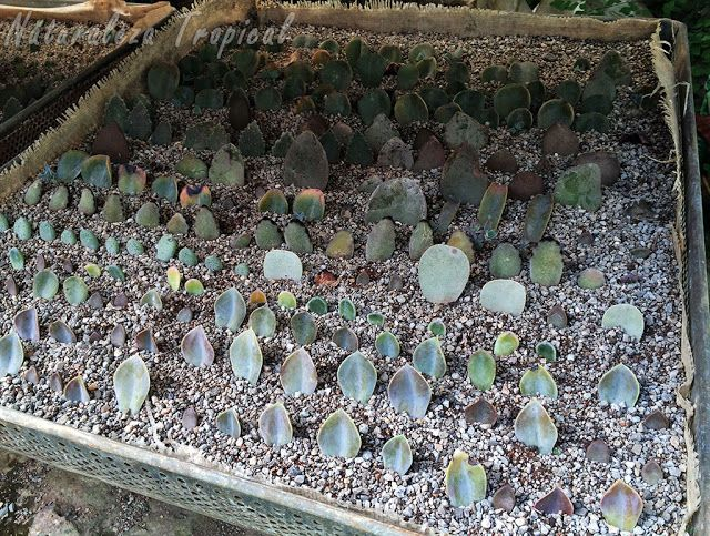 Reproducción intensiva por esquejes foliares de plantas crasas