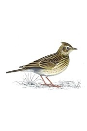 Skylark is red status but you an see them, and hear them on the lane where I walk my dog. Just found rspb website bird identifier - brilliant