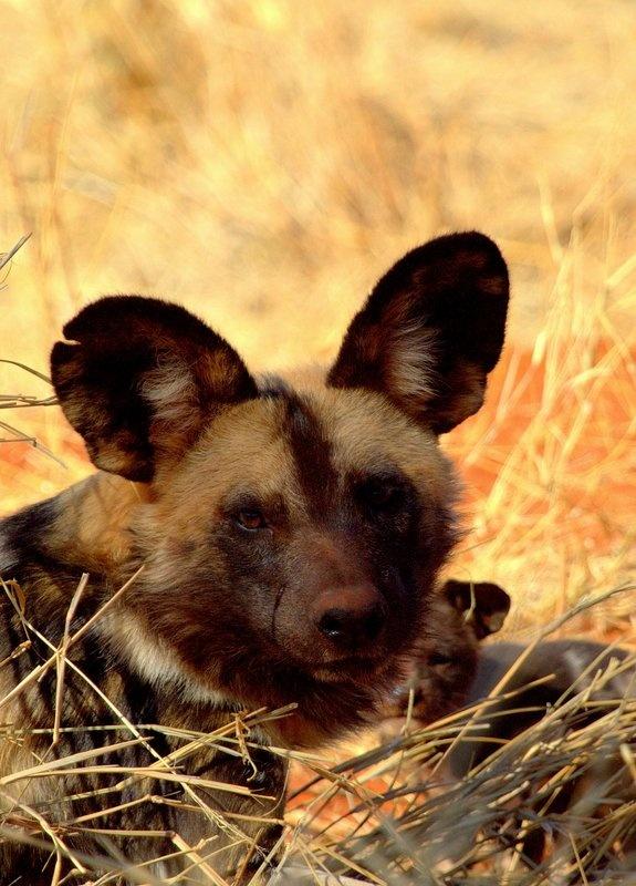 Wild Dog at Madikwe