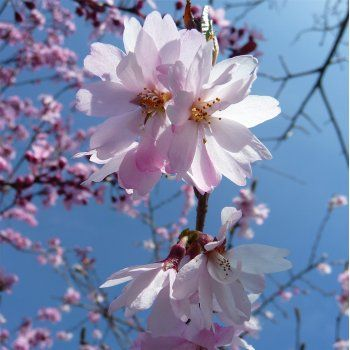 http://www.ornamental-trees.co.uk/prunus-subhirtella-autumnalis-rosea-tree-pp225