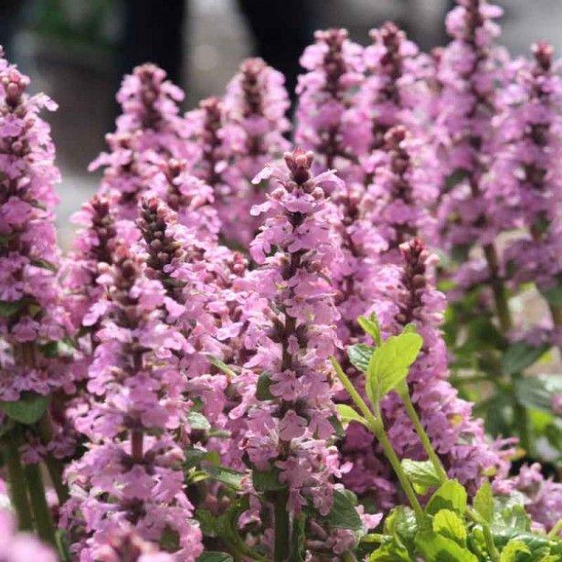 Les 25 meilleures id es concernant plante rampante sur for Prix plantes vivaces