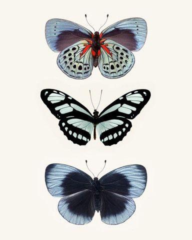 Three Blue Butterflies Photo - fine art print by Allison Trentelman | rockytopstudio.com