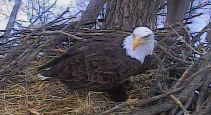 Literacy and Laughter - Teaching American Symbols LIVE BALD EAGLE CAM