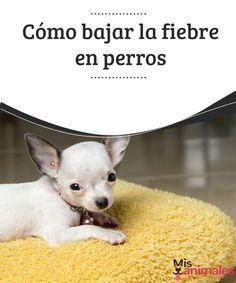 Cómo bajar la fiebre en perros La fiebre es un mal menor que los perros también sufren, aunque esta a veces puede encerrar otros problemas serios. Aprende cómo bajarle la fiebre. #fiebre #perro #salud #problema