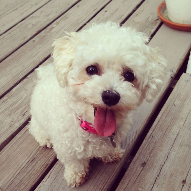 maplestory female hairstyles : 1000+ images about Maltipoo on Pinterest Maltipoo Dog, Maltipoo ...