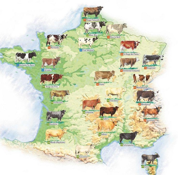 Carte-des-races-de-vaches-Vache-Rouge-vache-Flamande-vache-Blanc-Bleu-Bleue-du-Nord-Normandie-Prim-Holstein-Pie-Rouge-des-Plaines-Bretonne-Pie-noire-Jersiaise-Simmental-française-Vosgienne-Rouge-després-Brune-Montbeliarde-Parthenaise-Charolaise-Abondance-Tarentaise-Salers-Limousine-Salers-Bazadaise-Blonde-d-Aquitaine-Aubrac-Camargaise-Gasconne-Vache Corse-France-Europe