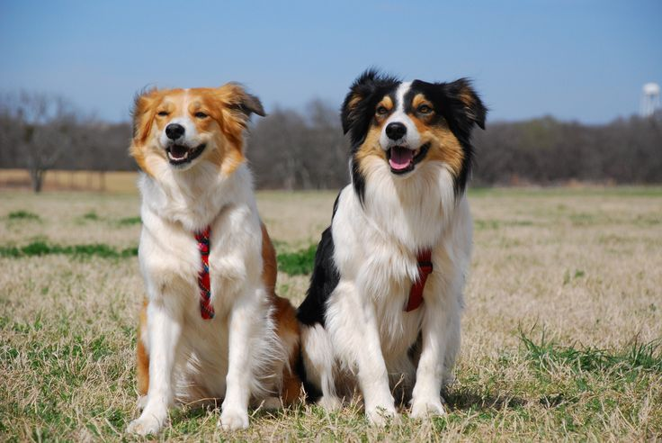 welsh sheepdog photo | Two Welsh Sheepdogs photo and wallpaper. Beautiful Two Welsh Sheepdogs ...