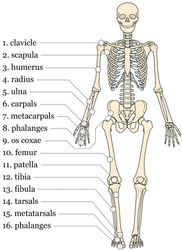 The appendicular skeleton, labelled (With images