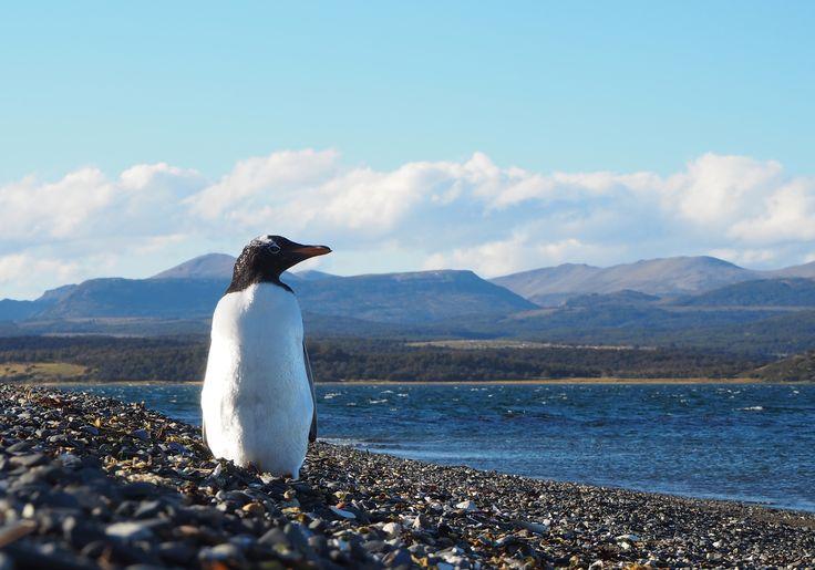 Posing Penguin, Ushuaia